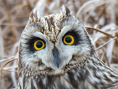 _Short Eared Owl (Asio flammeus) 3711