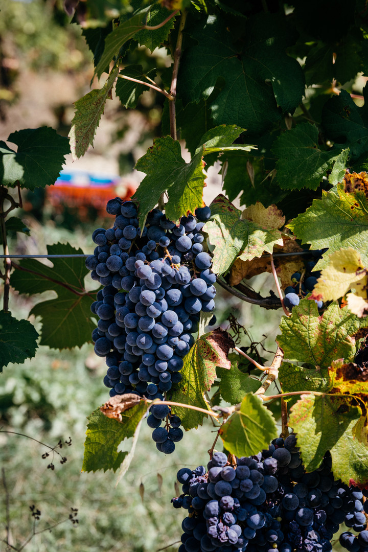 vino arrilonga