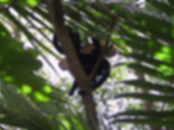 Capucins, Parc National Manuel Antonio