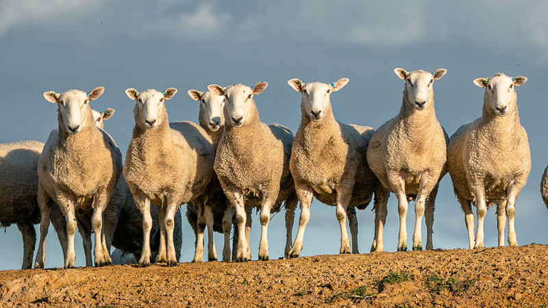 Border Leicesters