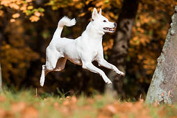 White Dog Jumping for Joy!