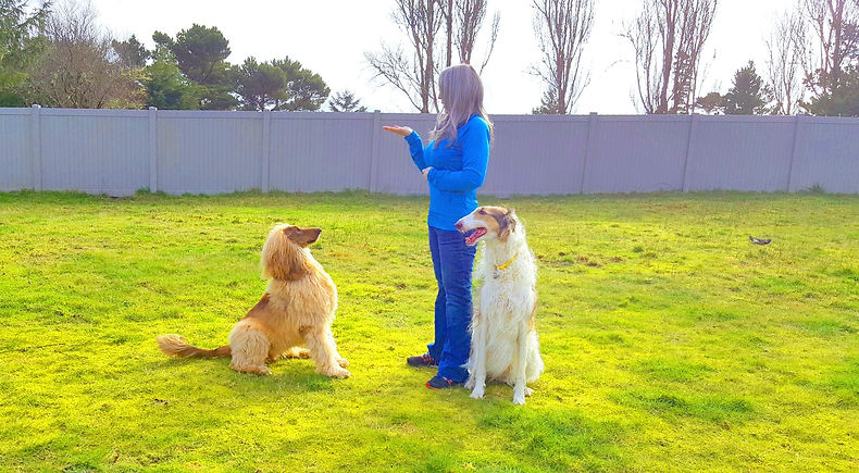 Afghan hound, Borzoi, enjoy positive training and building their trust accounts.