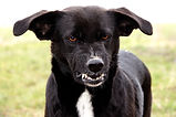 Aggression in Dogs. Snarling Dog Bares Teeth.