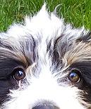 Mini-Bernedoodle Puppy Client <3