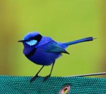 nornalup-riverside-chalets-blue-wren_edi