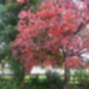 Cherrytree 1.jpg