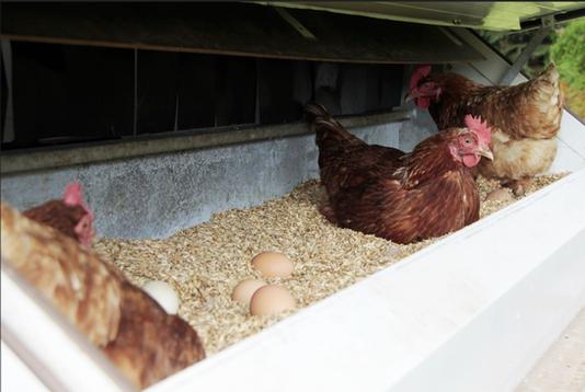 Hühner Nest