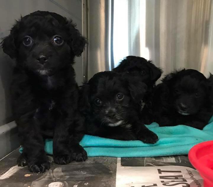 4 poodle spaniel puppies!