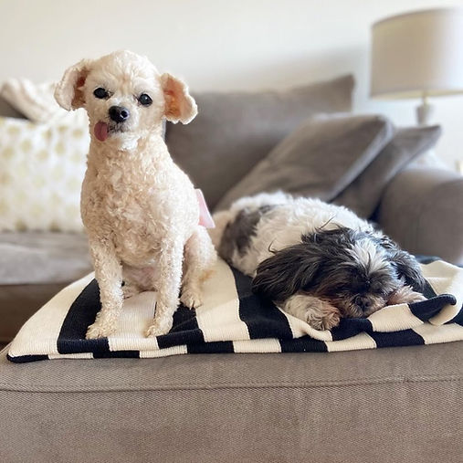 An image of two adopted dogs from Waggytail Rescue lying on the sofa