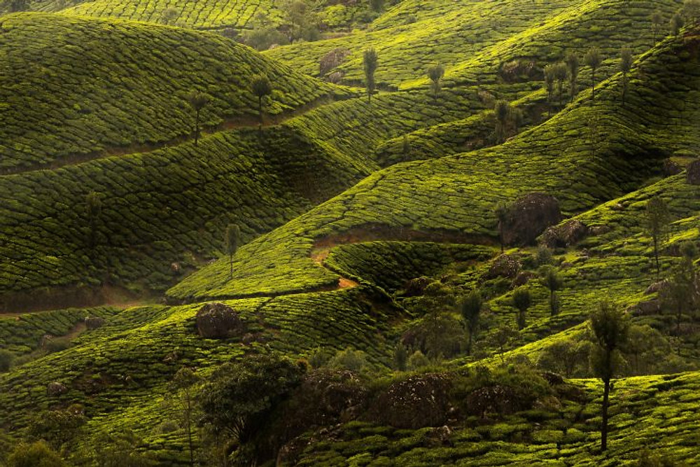 piantagioni di tè - kerala