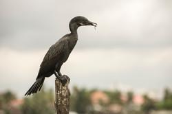 Il pasto del cormorano