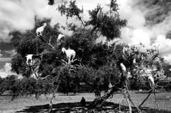 Le capre sull'albero