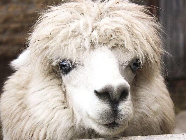 Face of an alpaca