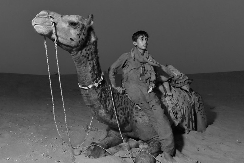 dromedario - deserto del thar - india