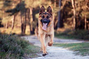 german-shepherd-528369-m