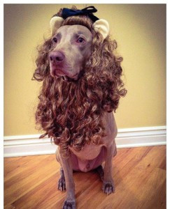 Aragon the Cowardly Lion for The Doggy Dojo costume contest last year.