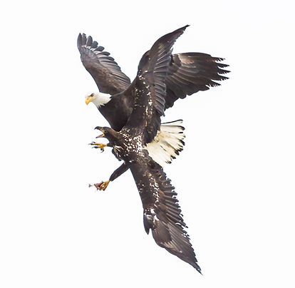 Bald eagles in combat