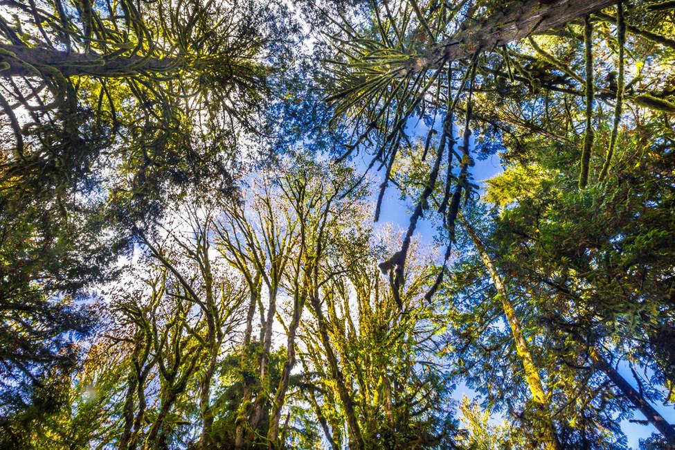 Forest_skywards.JPG