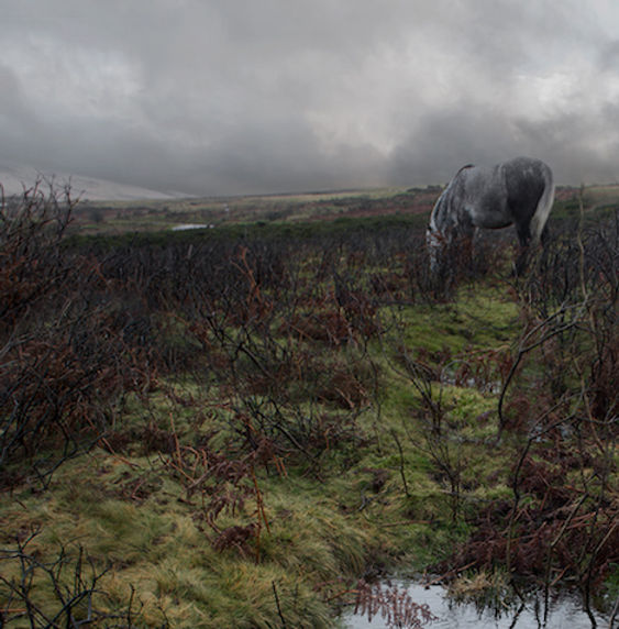 Dartmoor-Pony,-The-Moors,-England (2).jp