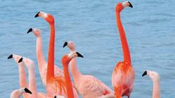 Larnaka Flamingo