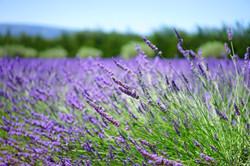 lavender-1595486_1920