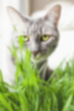 Grey Domestic Shorthair Piper in Palm Desert, California | Rachel Ash Photo