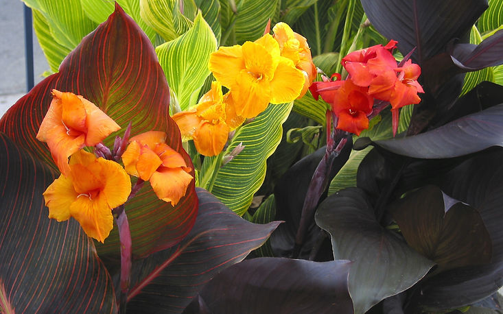 Canna Tropicanna 3 colors_5[2].jpg
