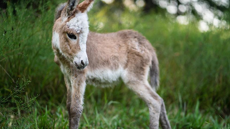 Juvenile Miniature Sicilian Donkeys