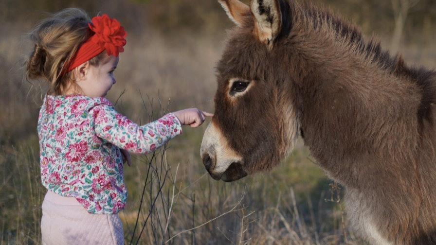 Mature Miniature Sicilian Donkey