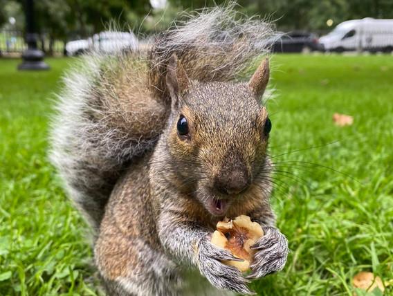 Boston squirrel 1 Oct 2021.jpg