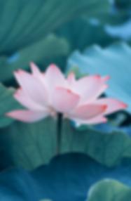 癒しの気でいっぱいっぱいの蓮の花
