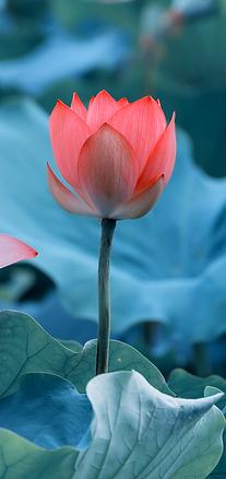癒しのエネルギーを秘めたあか赤い蓮の花