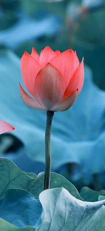 癒しのパワー満載の蓮の花