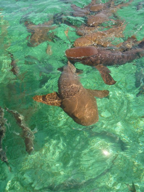 The sharks at Shark Ray Alley in Hol Chan Marine Reserve, Caye Caulker, Belize