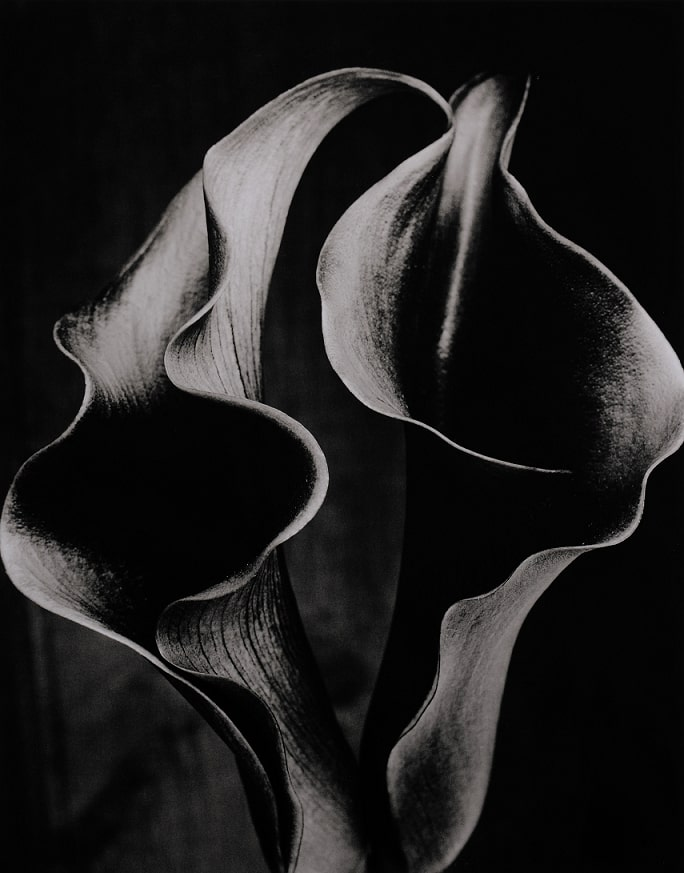 Double Arum Lily 1
