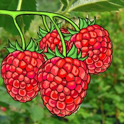 Rasberry Love