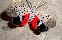 Spotted Lantern Fly Pest