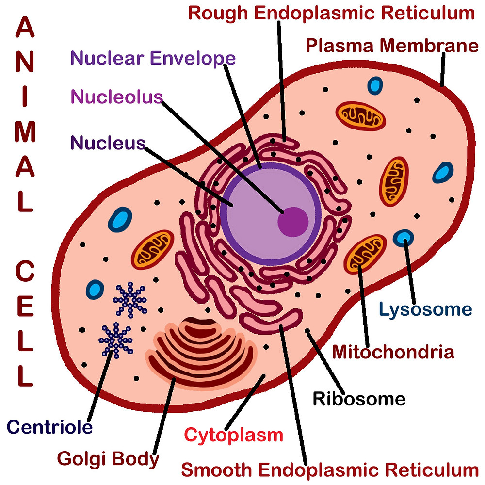 labelled animal cell