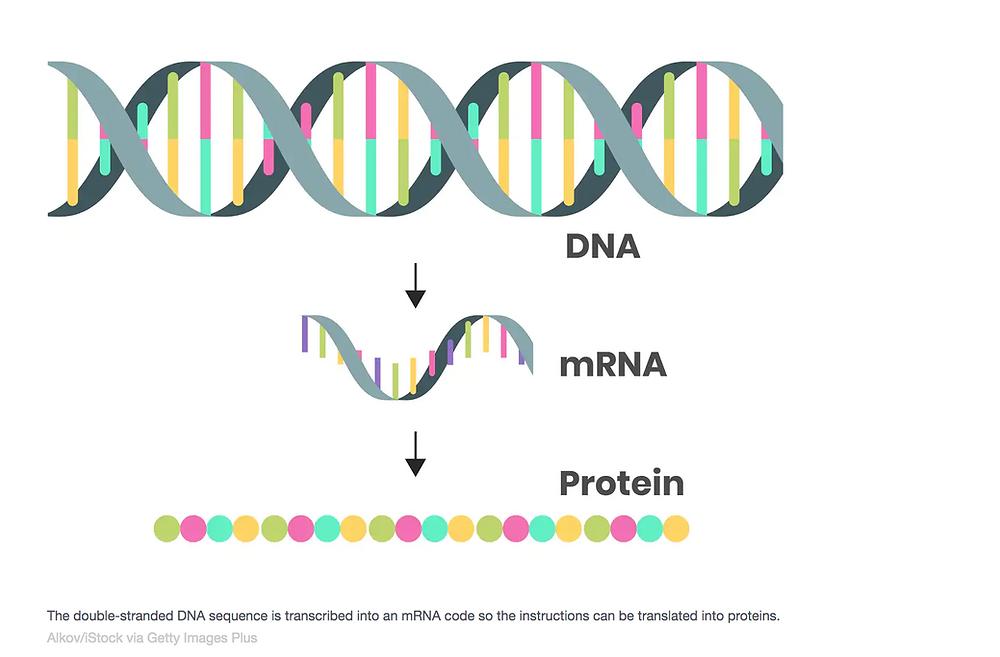 DNA mRNA protein diagram