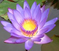 danishlotus flower (1).jpg