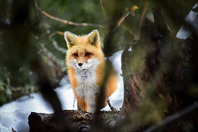 Red Fox in a forest in Algonquin Park.jp
