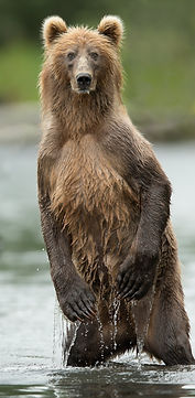 Standing Bear in water.jpg
