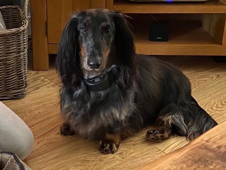 Alfie the standard dachshund