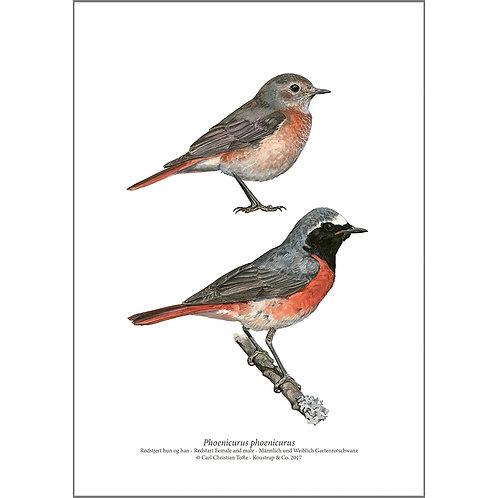 Redstart Male & Female Art Print