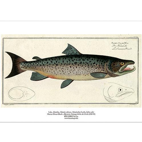 Salmon Art Print
