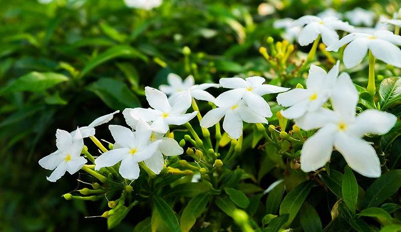 Jasmine-Care.jpg