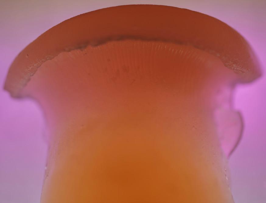 Agar oyster mushroom spores