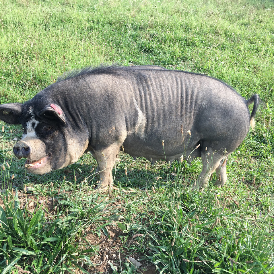Pasture Raised Pork, Edinboro Pennsylvania, Idaho Pasture Pigs