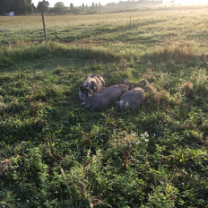 Pasture Raised Pork, Edinboro Pennsylvania, Idaho Pasture Pigs