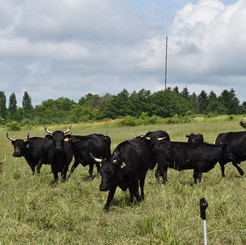 Grass Fed Beef, Edinboro Pennsylvania, Dexter Cattle